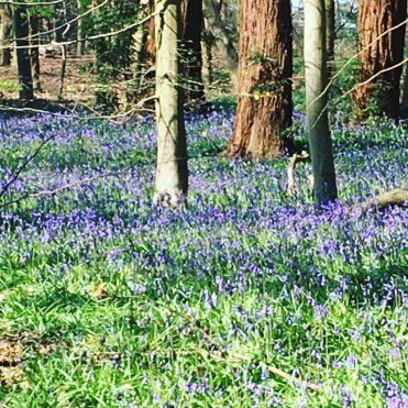 Buzymum - Bluebells at Cliveden woodland