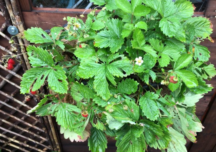 Buzymum - grow your own wild strawberry plant