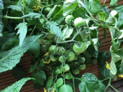 Buzymum - Our tumbling tomatoes are easy to grow and are already producing lots of fruit
