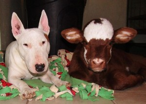 miniature-rescue-cow-dogs-moonpie-1-58d3d3aeeabaa__700