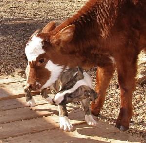 miniature-rescue-cow-dogs-moonpie-10-58d3d3cd611f4__700