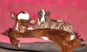 miniature-rescue-cow-dogs-moonpie-15-58d3d3dc2fd68__700