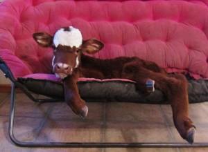 miniature-rescue-cow-dogs-moonpie-7-58d3d3c352eb3__700