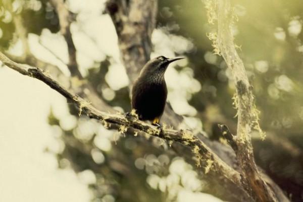 Kauai-Oo-aa-bird