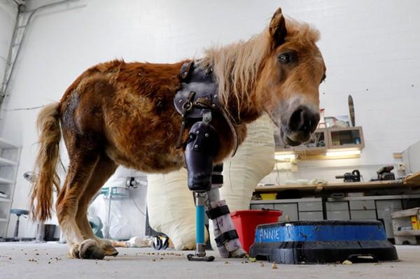 mini-horse-amputee-gets-prosthetic-leg-angel-marie-1