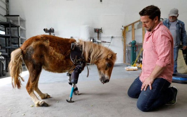 mini-horse-amputee-gets-prosthetic-leg-angel-marie-2