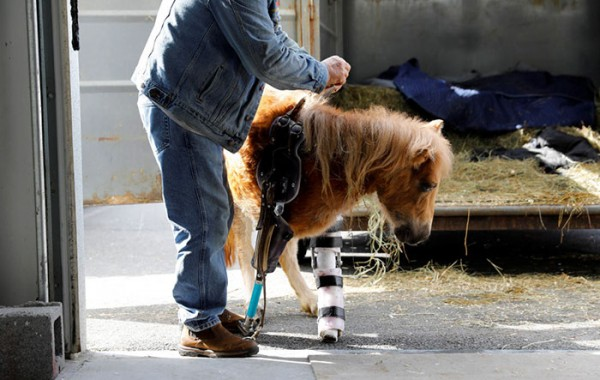 mini-horse-amputee-gets-prosthetic-leg-angel-marie-3