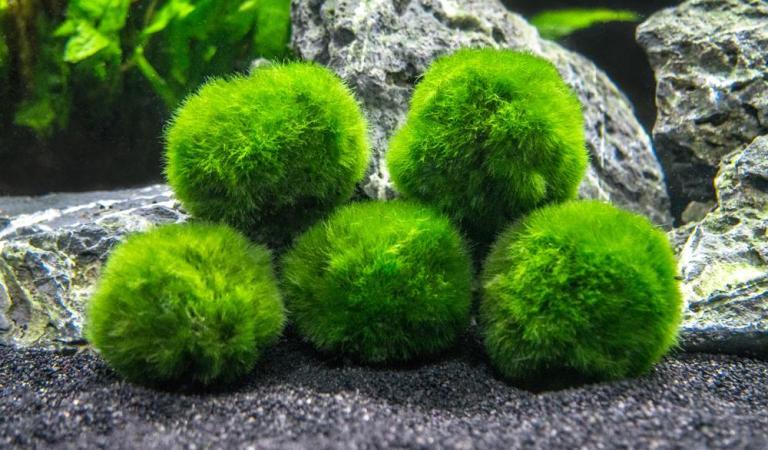 Marimo (yosun topu) Neden Yuvarlaktir ve Merak Edilen Diger Sorular