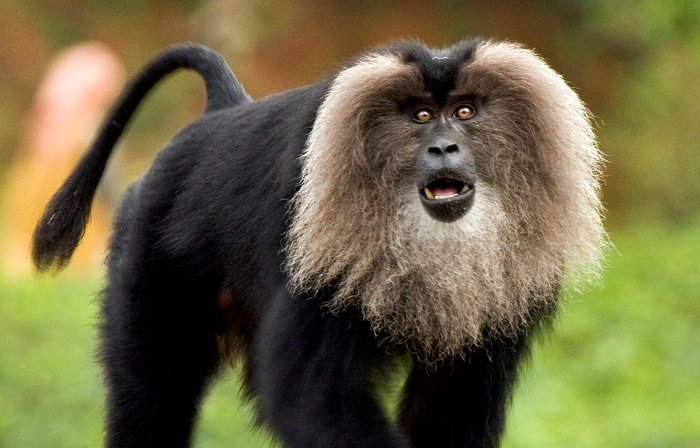 Photo Credit https://upload.wikimedia.org/wikipedia/commons/f/f5/Lion-tailed_macaque_by_N_A_Nazeer.jpg