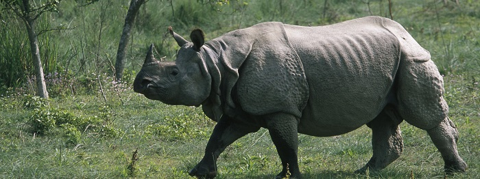 Photo Credit http://www.worldwildlife.org/species/greater-one-horned-rhino