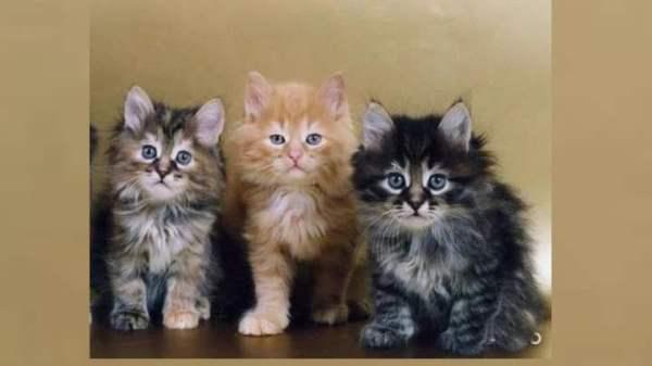 Сибирские котята –верные и независимые друзья: Описание ...
