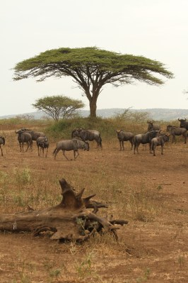 Wildebeests catching the only shade around