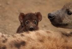 hyena hide and seek