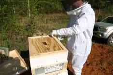 Matt loosening the inner cover from the hive. The bees had built a lot wax between the two.