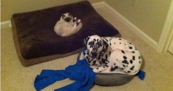 ネコにベッドを奪われた犬