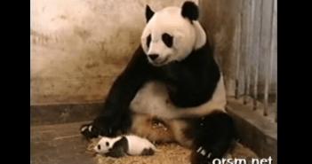 パンダの赤ちゃんのクシャミ