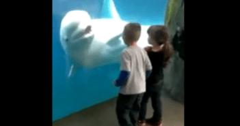 絶対にすべらないシロイルカ