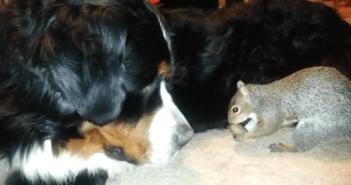 犬のモフモフの中にドングリを隠そうとするリス