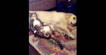 犬ベッドでまったりするネコ