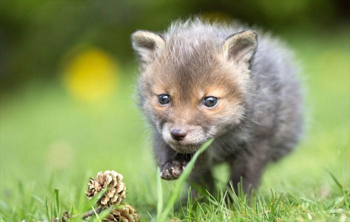 orphaned-fox-cub-adopted-dog-ziva-dinozzo-germany-10_R