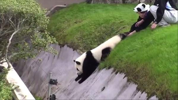 panda_R