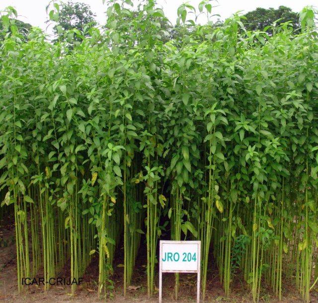 1. Jute Plant.JPG