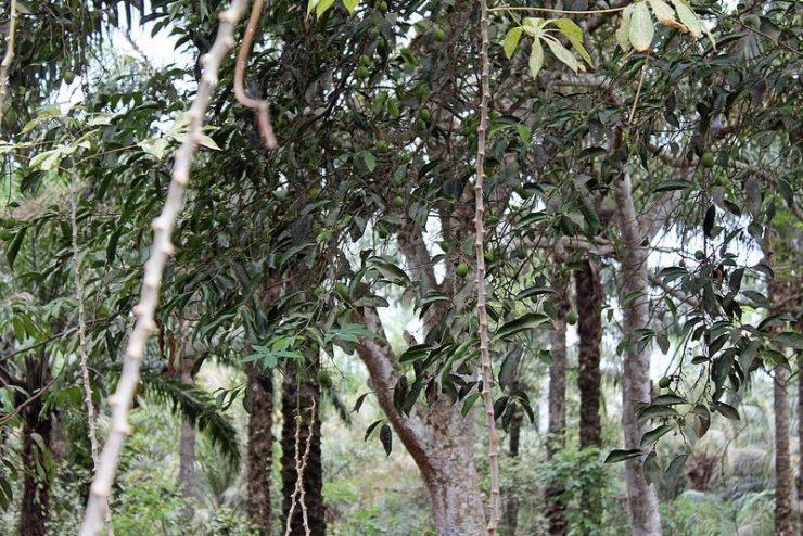 ogbono tree