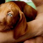 Vizsla | BuzzNTheBurgh.com Pets
