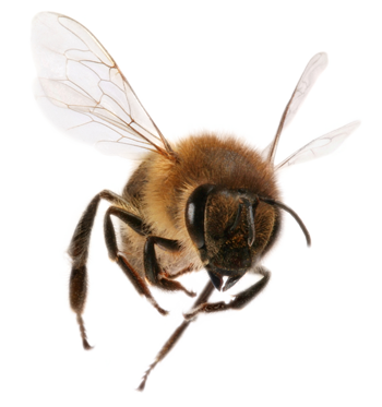 a flying bee