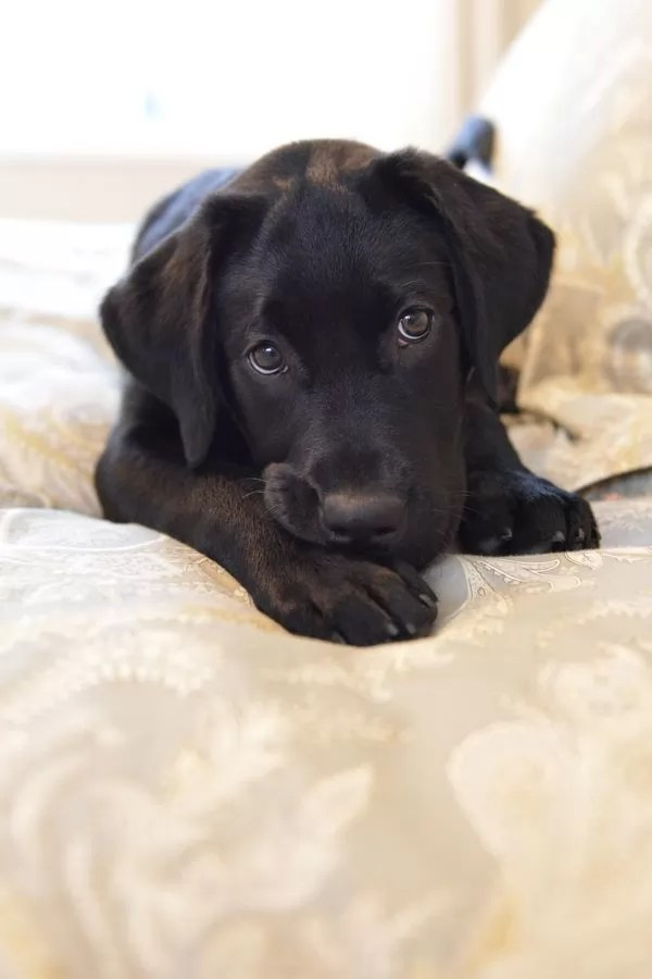 These Labradors Will Make You A Better Person