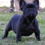 Cute French Bulldog Names Romantic Words