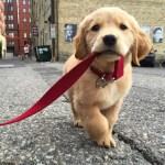 10 Best Golden Retriever Names