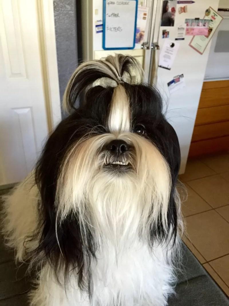 Shih Tzu Haircuts Boy Makeupsite