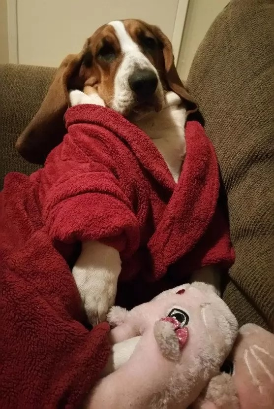 14 Reasons Basset Hounds Are The Worst Indoor Dog Breeds