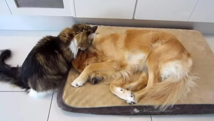 16 Reasons Maine Coons Are Not The Friendly Cats Everyone