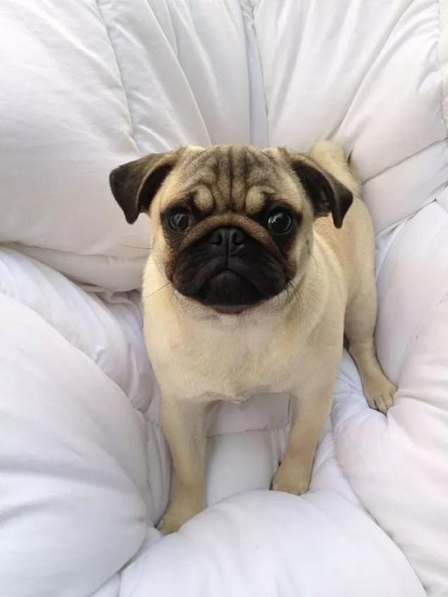 curious pug face pics
