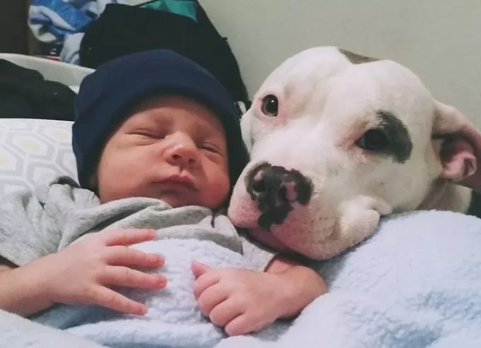 12 Reasons Pit Bulls Are The Worst Indoor Dog Breeds Of