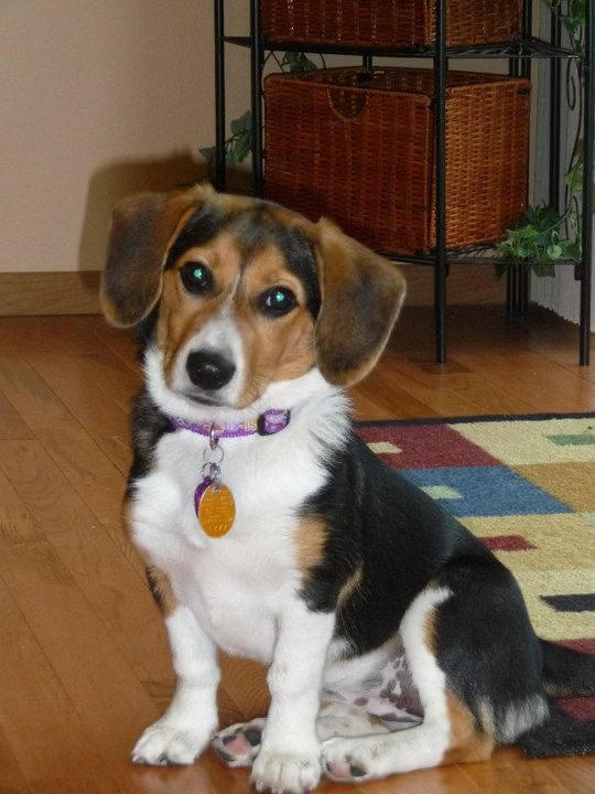 15 Unreal Corgi Cross Breeds You Have To See To Believe