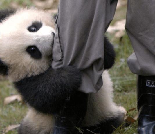 Bébé panda mignon
