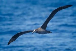Black-footed Albatross ©Tom Blackman