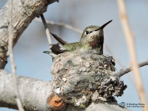 Anna's Hummingbird on her nest. Photo by J.J. Springer