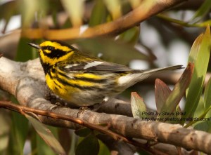 Townsend`s Warbler  Leucadia 2010 04 24-3.CR2