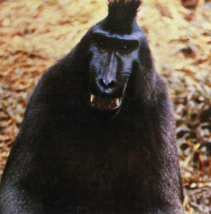 Архив БВИ: Систематика: Macaca