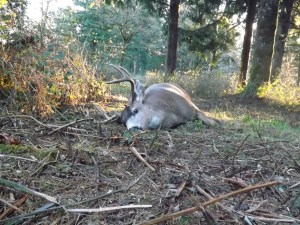 Even 3 X 3 Blacktail - November 2013