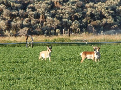 If one ask they can get permission to hunt near the circles.  Ranchers or farmers do not like Pronghorn as they like to lay in the Alfalfa!