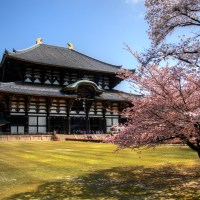 The Temple & the Deer - Cherry Blossoms in Nara