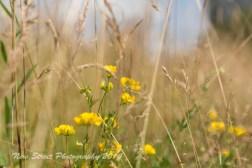 Wild buttercups