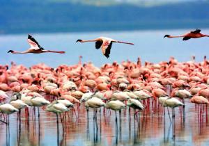 Lake Manyara National Park Greater Flamingoes