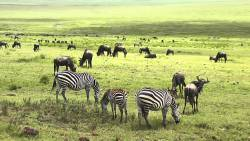 Ngorongoro Crater Wildebeest and Zebras Wildlife