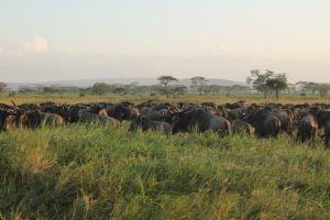Serengeti Great Migration